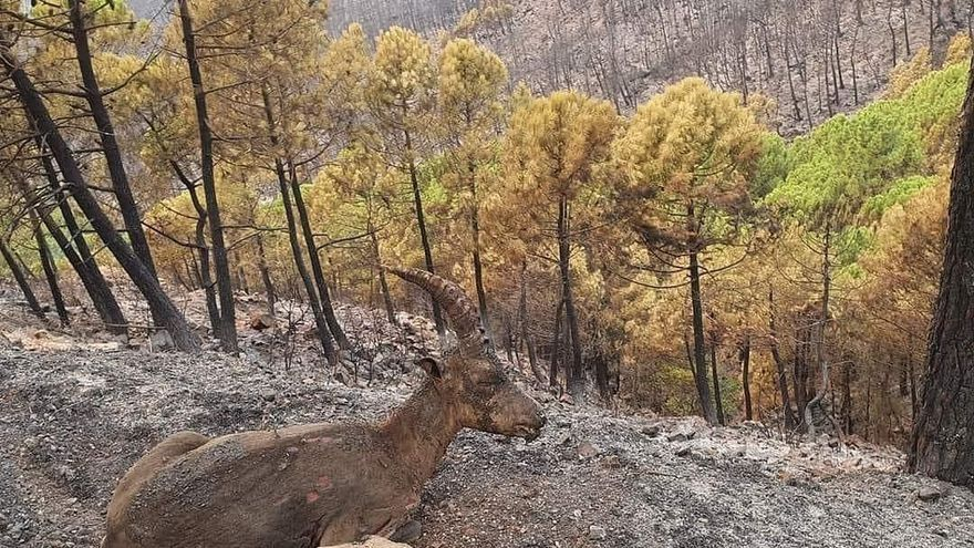El colegio de veterinarios se ofrece para atender a los animales heridos en el incendio de Sierra Bermeja