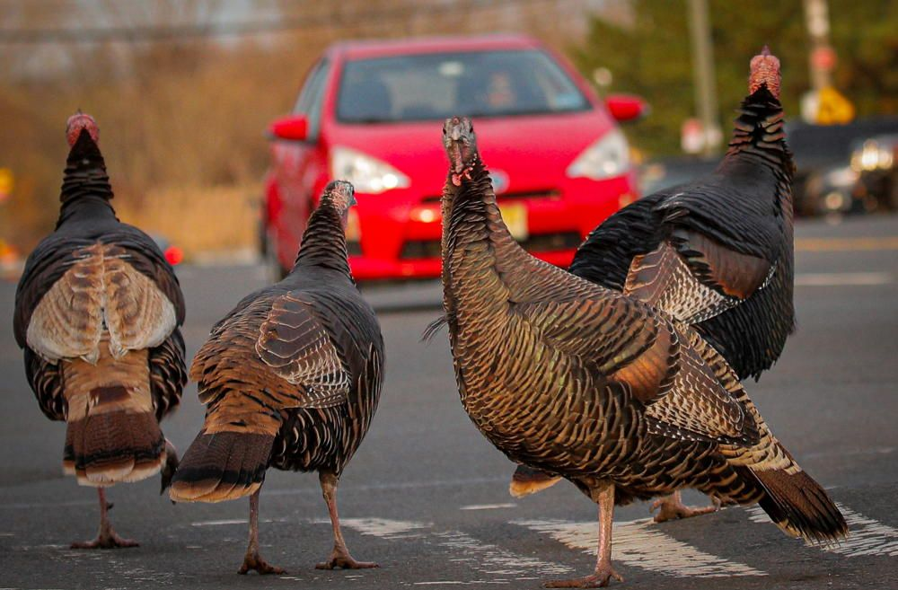 Wild turkeys cross a street on the eve of ...