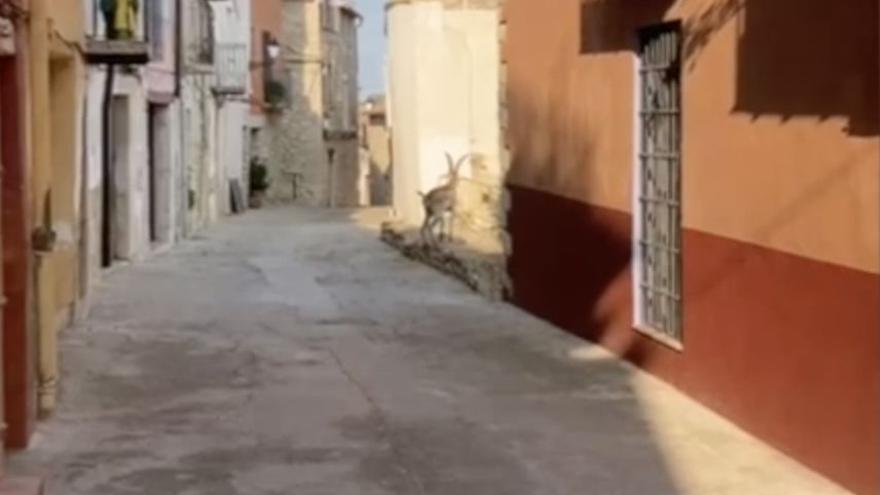 Una cabra se pasea por las calles de un municipio de Castellón