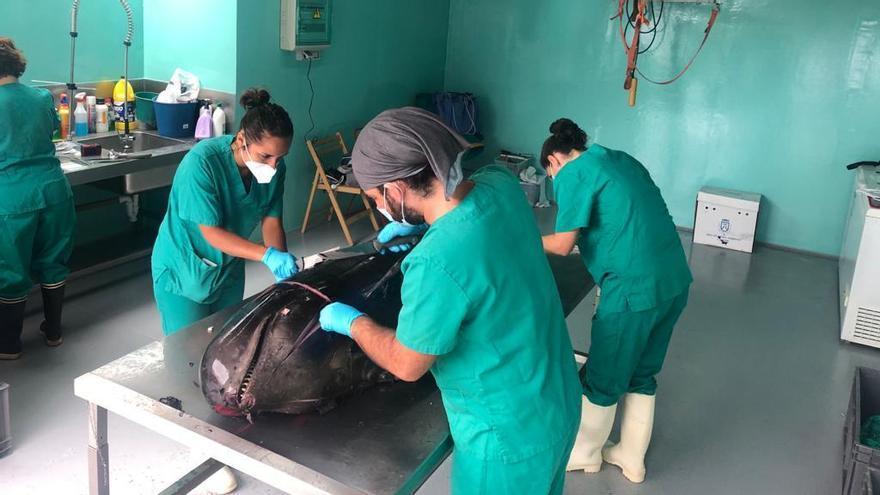Recuperan los cadáveres de dos cetáceos en aguas cercanas a Tenerife
