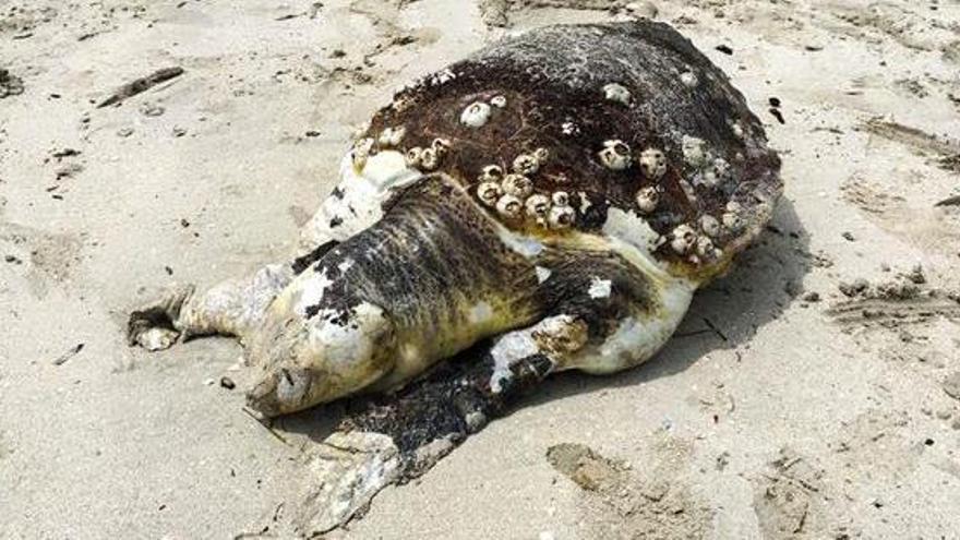 Vier tote Meeresschildkröten in zehn Tagen an der Küste angeschwemmt