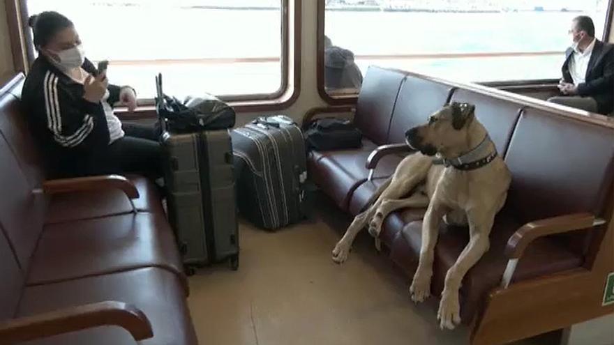 Boji, el perro al que le gusta viajar en el transporte público de Estambul