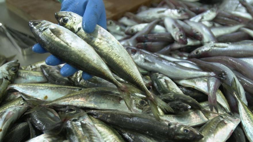 El cierre del jurel en aguas del Cantábrico Noroeste aboca al cerco gallego al amarre