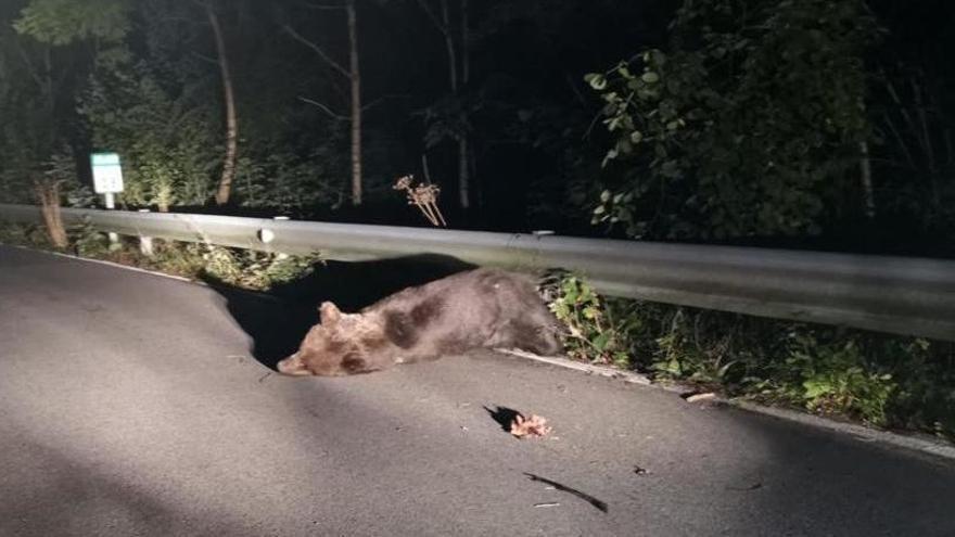 Un oso resulta herido tras ser atropellado en Asturias