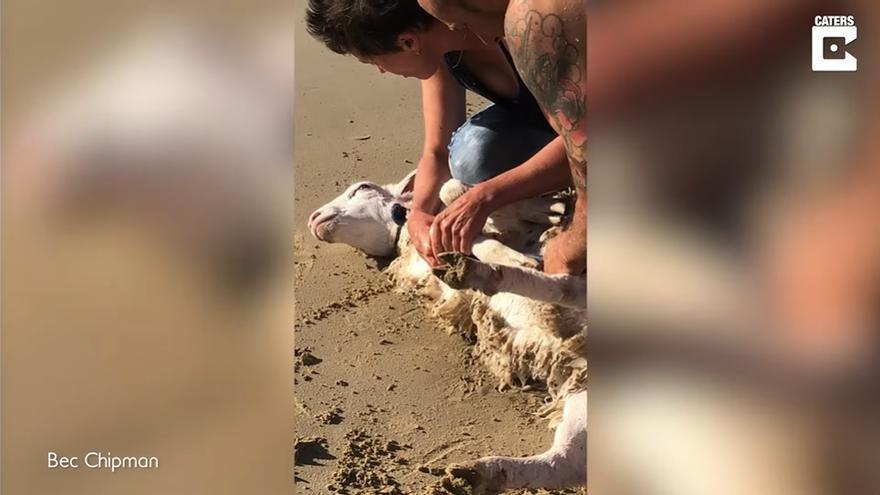 El rescate de una oveja en el mar se vuelve viral en las redes sociales