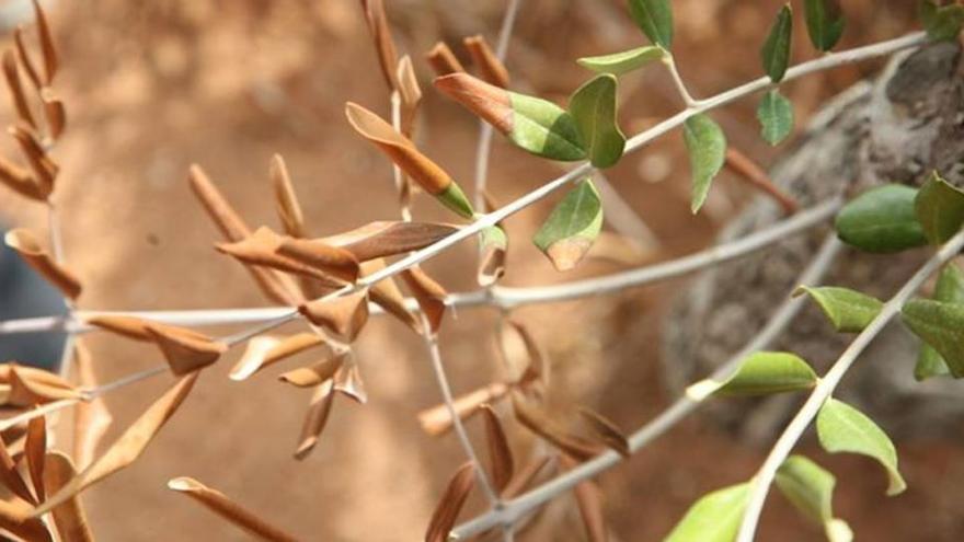 Agricultura destina 346.000 euros a la lucha contra la 'Xylella fastidiosa' en Baleares