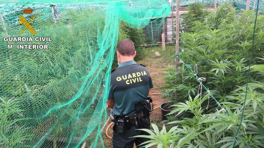 "Detenido en Barro por cultivar un ""bosque"" de marihuana"