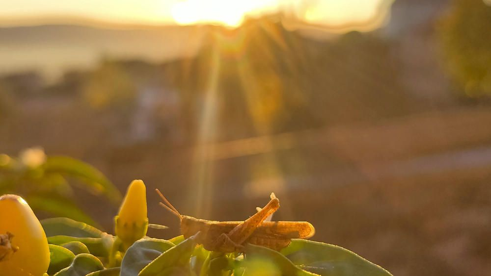 Una llagosta carregant piles a la sortida de sol.