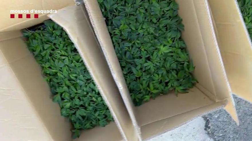 Detingut a Sant Esteve Sesrovires per transportar mil esqueixos de plantes marihuana en una furgoneta