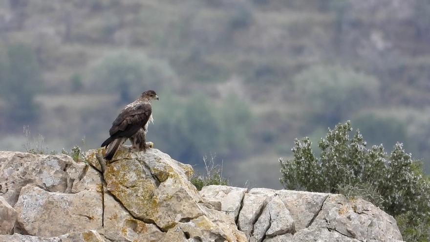 En déu anys l'àguila cuabarrada podria desaparéixer en Castelló