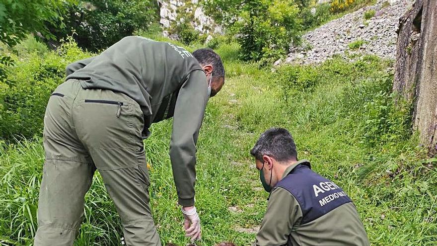 Hallan muerto a un oso joven que pudo ser depredado por otro mayor
