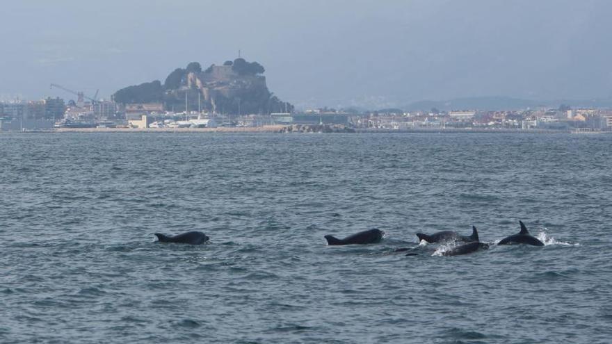Avistan centenares de delfines en Dénia en apenas mes y medio