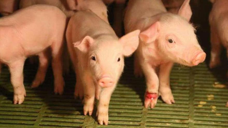 Lonja de Zamora | Sube el precio general del porcino y los lechones