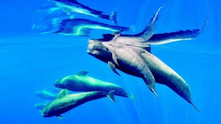 Un área en aguas de Tenerife, primera zona declarada Patrimonio de Ballenas de Europa