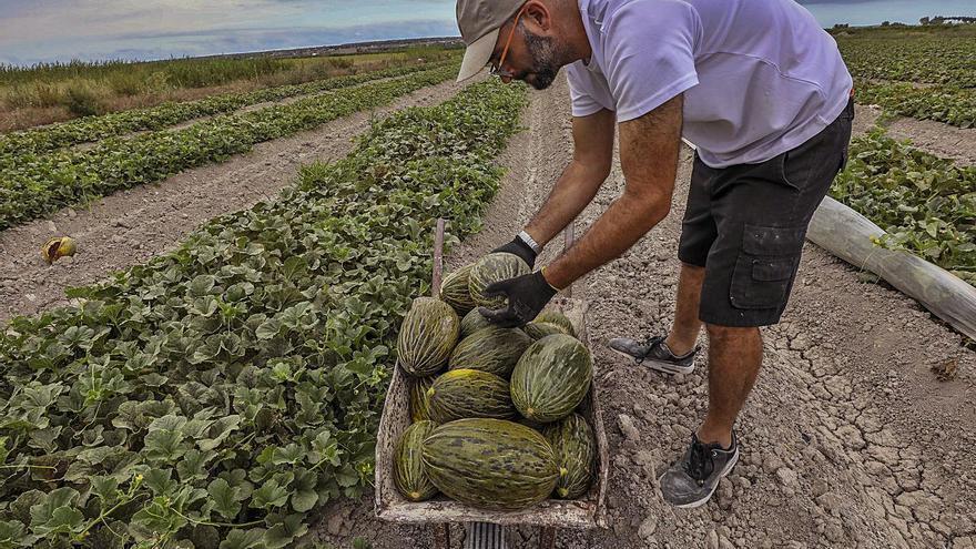 Las copiosas lluvias de primavera han recortado hasta un 25% la cosecha del melón de Carrizales