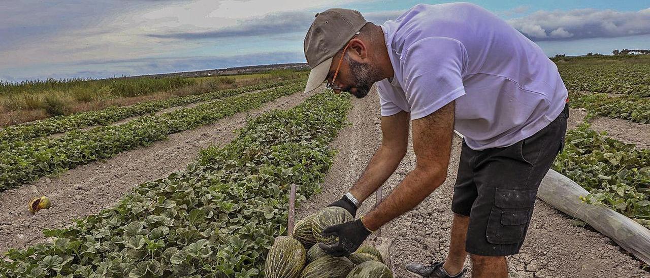 Un agricultor recolecta melones de Carrizales en el inicio de la campaña en el campo