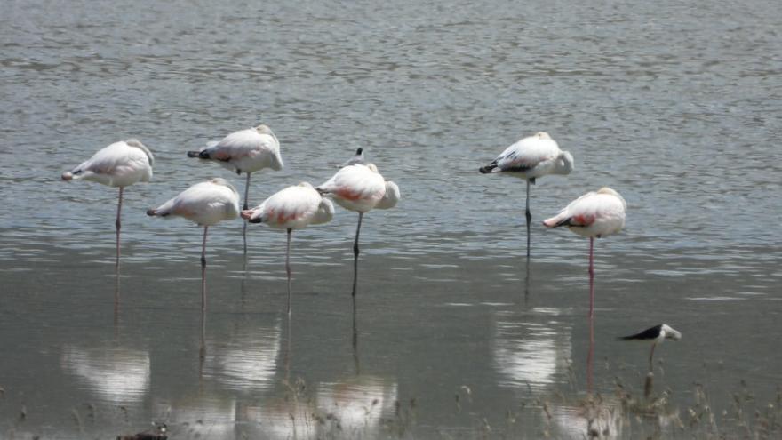 Los flamencos eligen la laguna de Gallocanta para empezar su cría