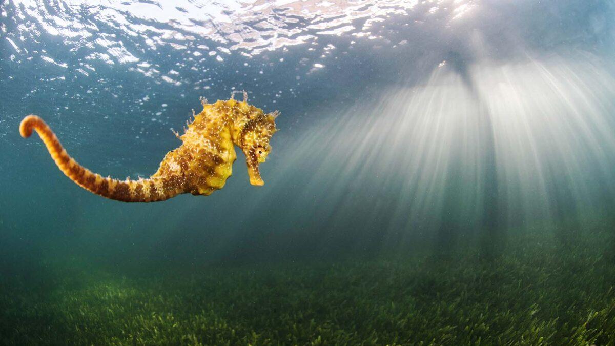 Recuperan en Valencia un caballito de mar amenazado y un crustáceo prehistórico