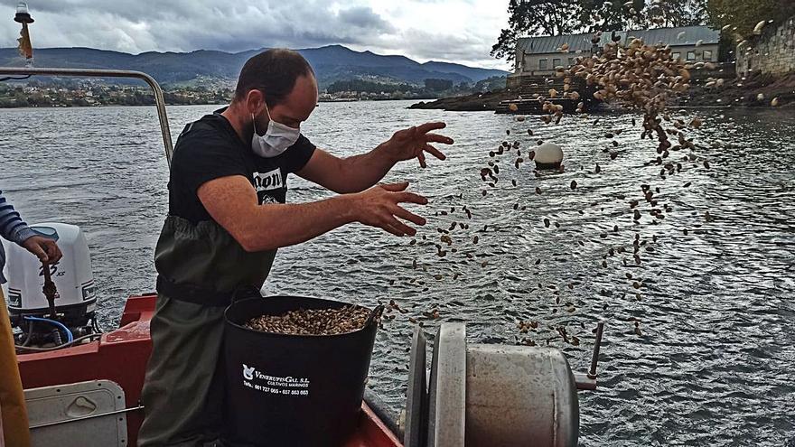 Los mariscadores regeneran el banco de San Simón con la siembra de 4 millones de almeja