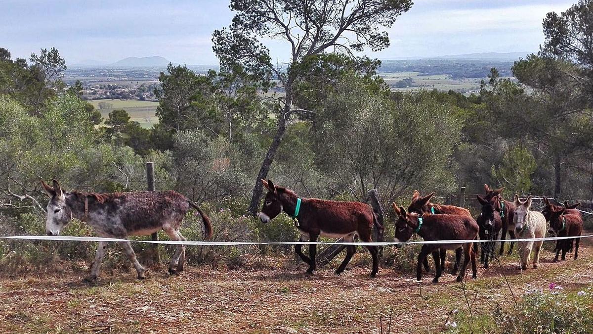 Asnos para controlar la vegetación en zonas boscosas de Santa Eugènia