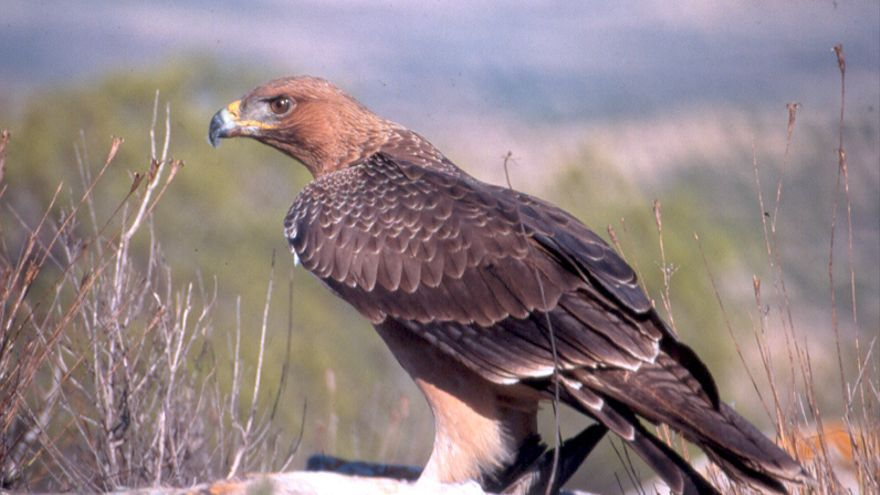 Transición Ecológica declara el águila perdicera como especie en vías de extinción