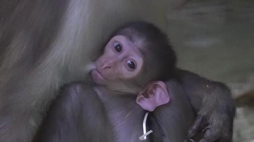 Nace una cría del singular 'mono de la raya en el ojo' en Bioparc