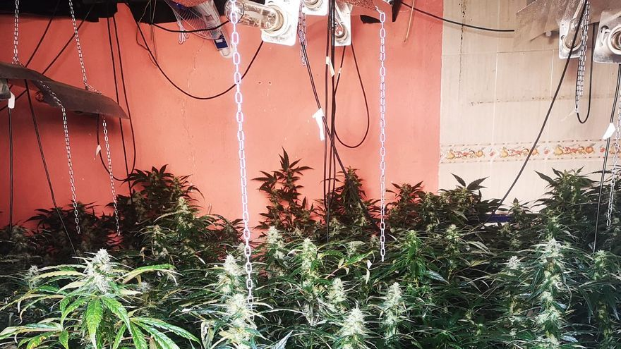 Descubren 730 plantas de marihuana ocultas en tres viviendas del Ayuntamiento de Petrer