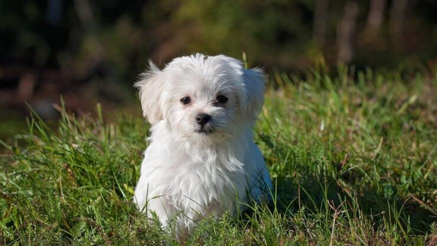 La llei obligarà a qui compri un gos a fer un curs previ
