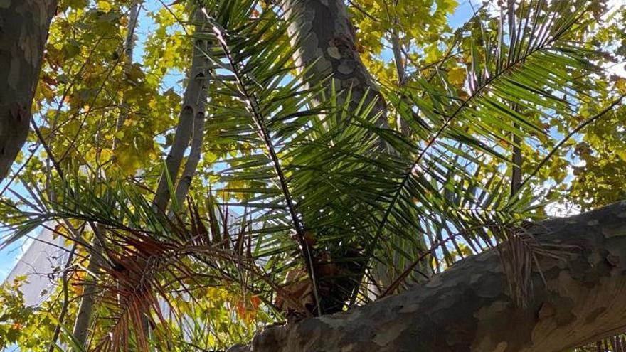 Creix una palmera dins la branca d'un plataner a la plaça de l'estació de Figueres