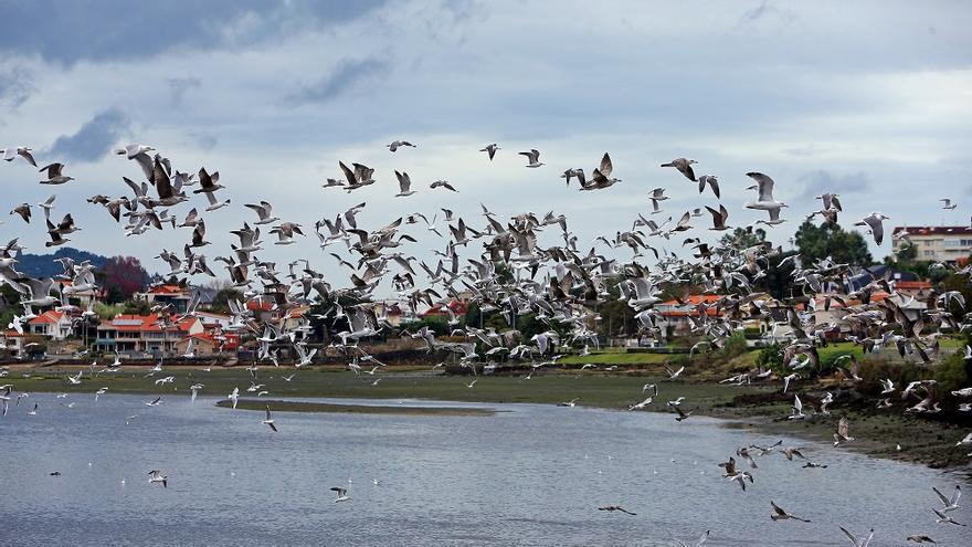 El espectacular baile de una bandada de pájaros sobre el estuario de Foz, en Baiona