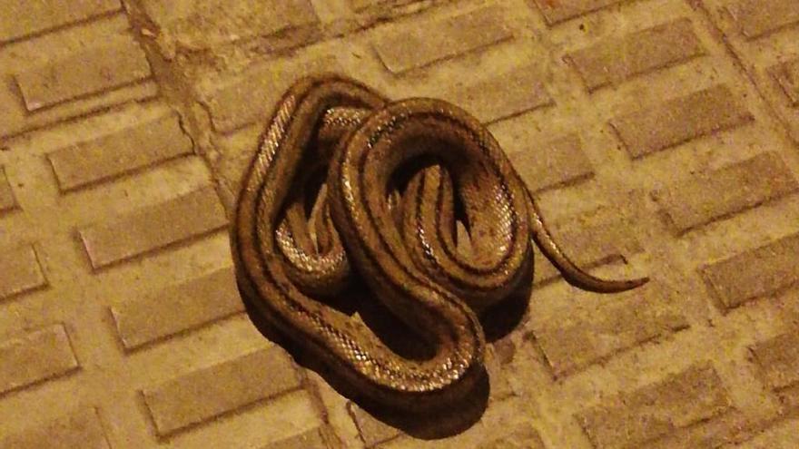 Nuevas serpientes hacen acto de presencia en el centro de Zamora