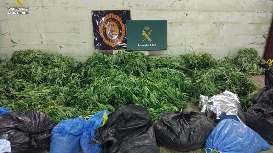 Desmantellen un cultiu de 1.175 plantes de marihuana en una casa de l'Escala