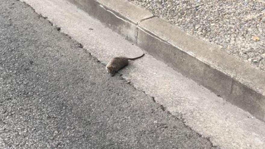 Els barris de Girona denuncien la presència de rates a la via pública per culpa de l'incivisme