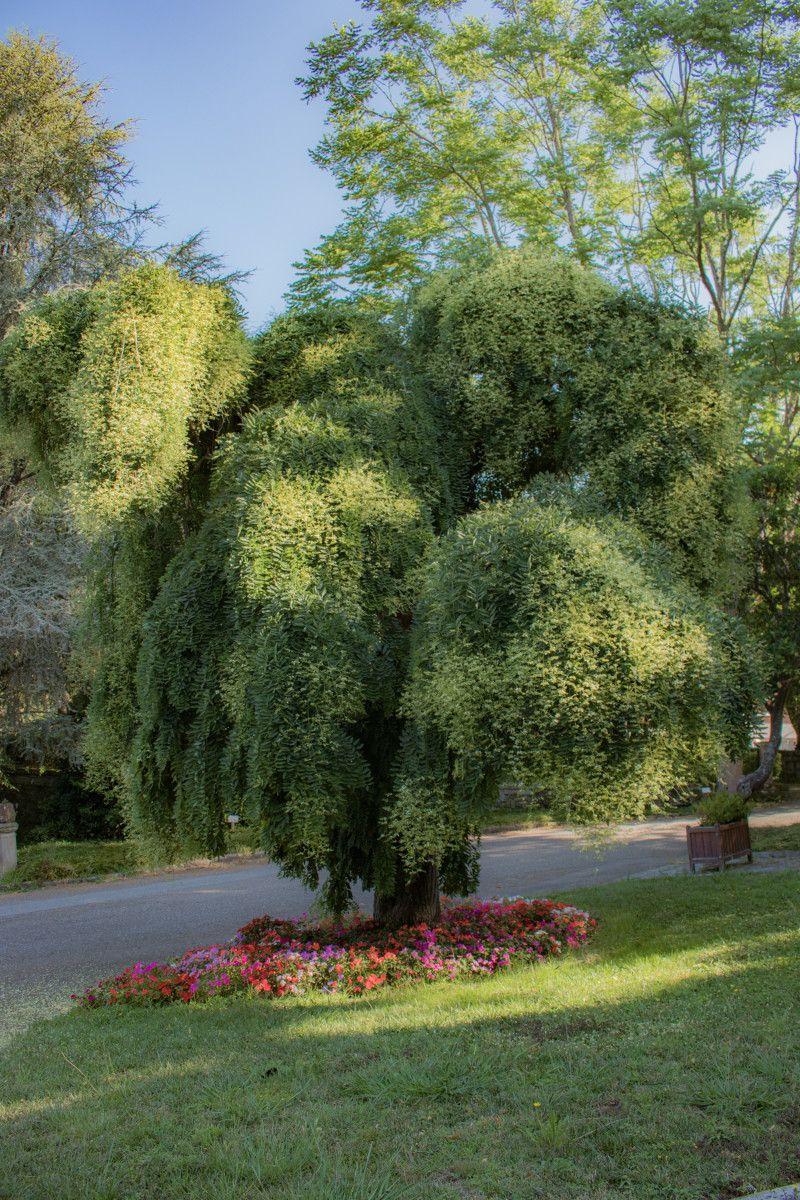 """Las """"árbores senlleiras"""" de los jardines de Lourizán"""
