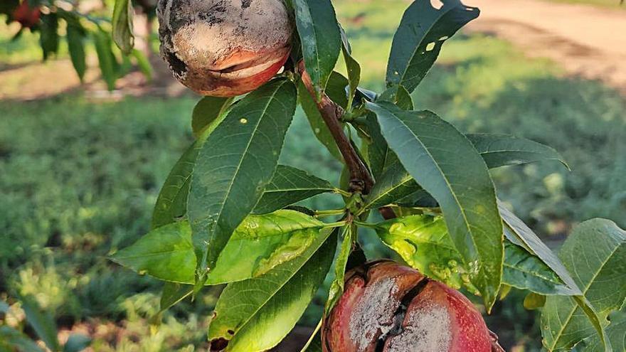 El exceso de lluvia reduce la cosecha  de naranja al pudrir la floración