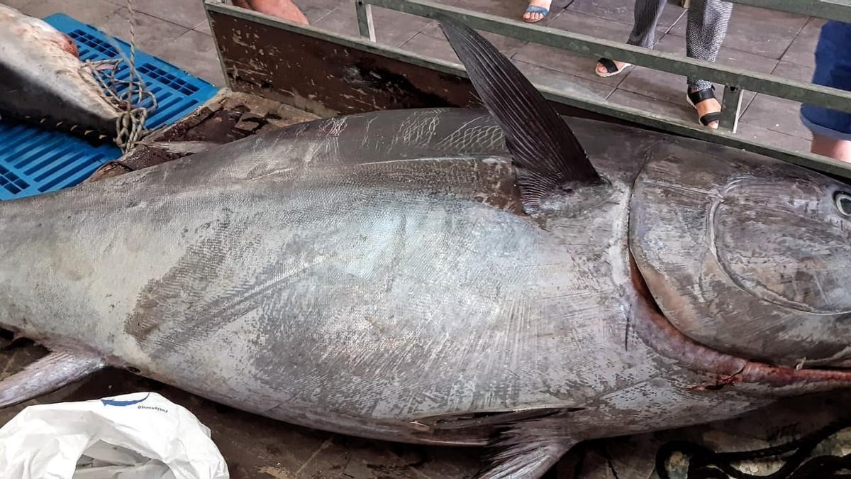 El fenomenal atún tras descargarlo en el puerto de Dénia