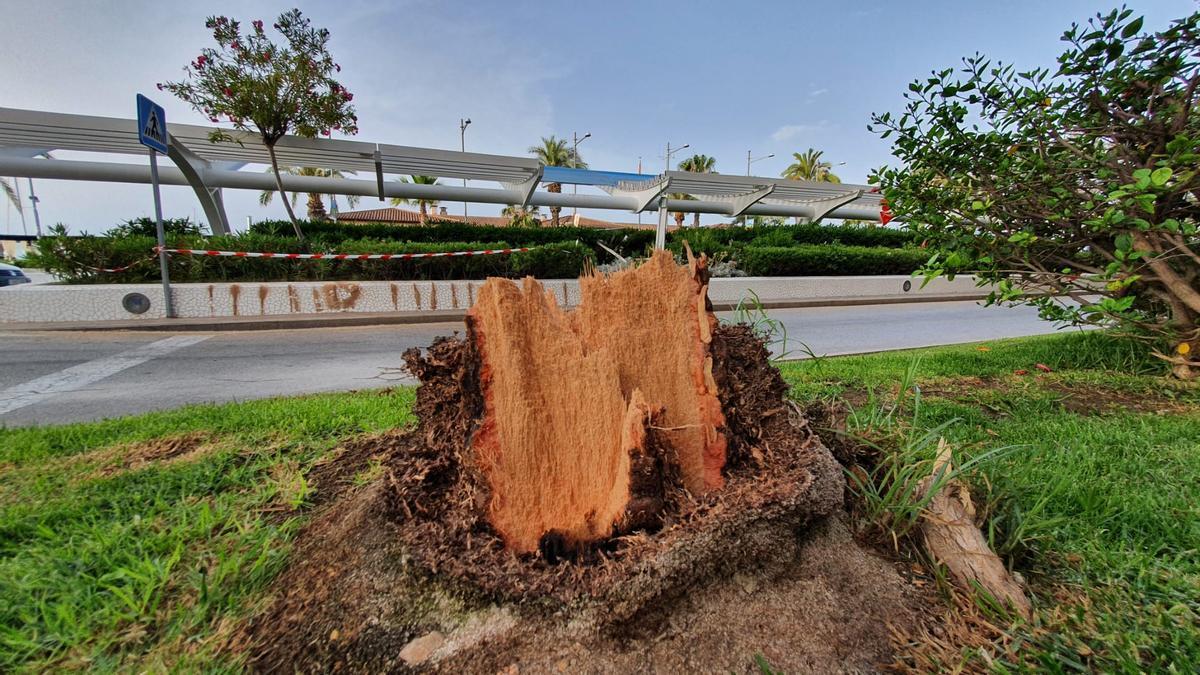 Imagen del tronco de la palmera del paseo Vista Alegre que se partió desde la base por las rachas de viento