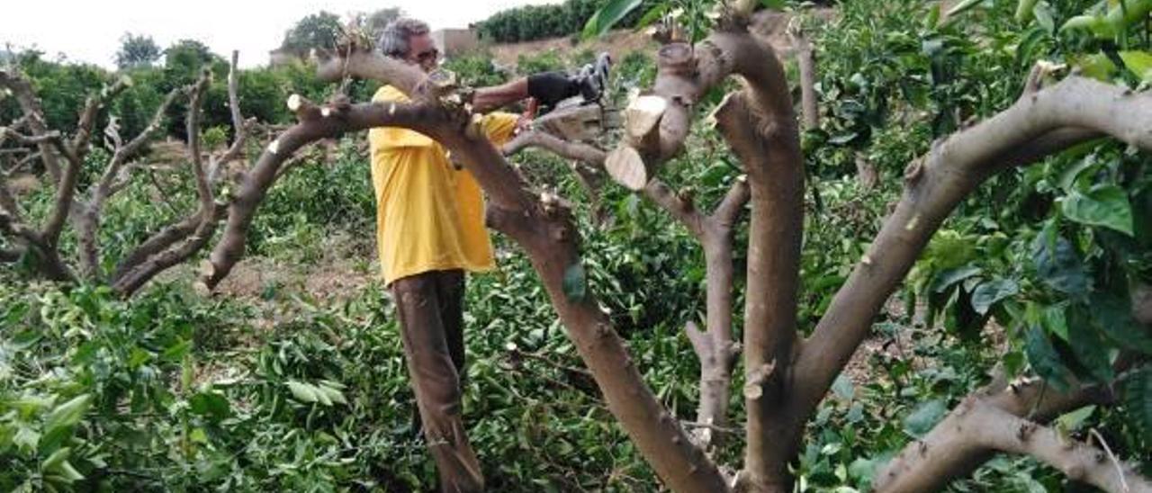 Un agricultor tala con una motosierra un naranjo en el término de Turís.