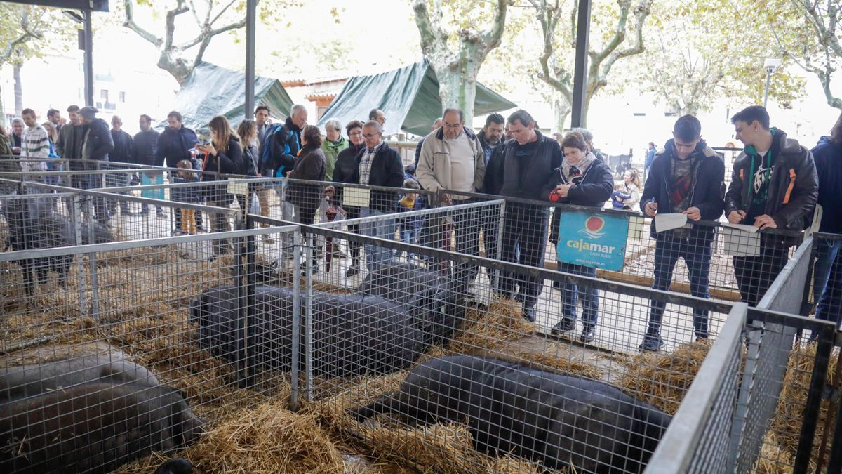 Una exposición de 'porcs negres' mallorquines durante una pasada edición del Dijous Bo de Inca.