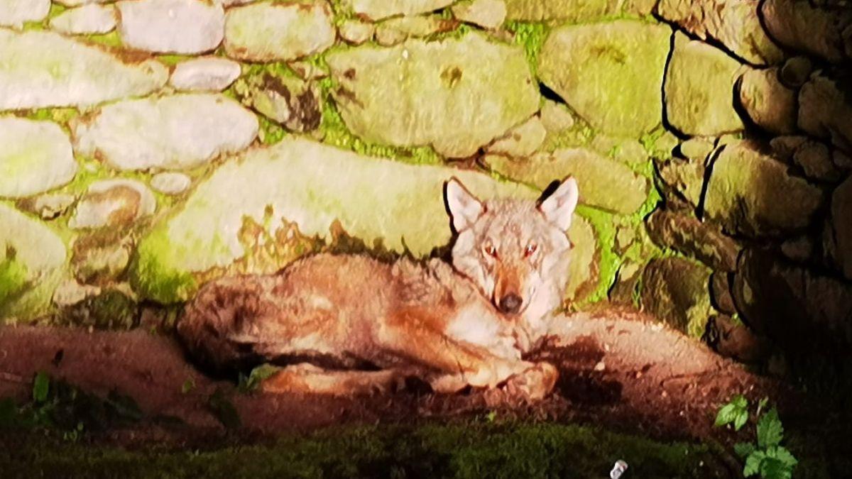 El lobo, dentro de una casa abandonada en Cuntis.