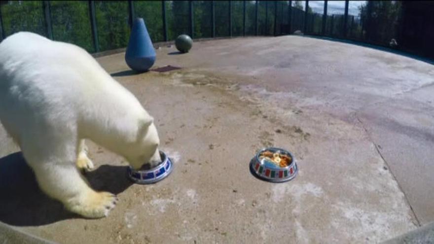 El oso polar que predice los resultados de la Confederaciones
