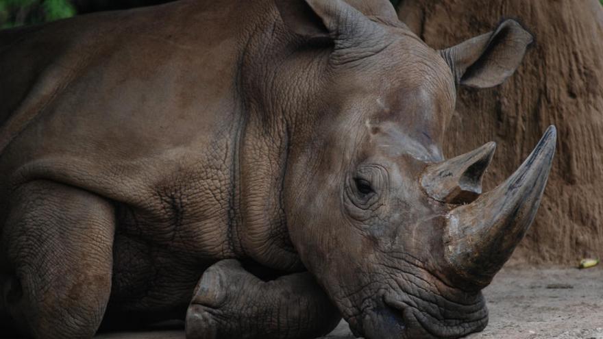 Muere la última rinoceronte de Sumatra de Malasia