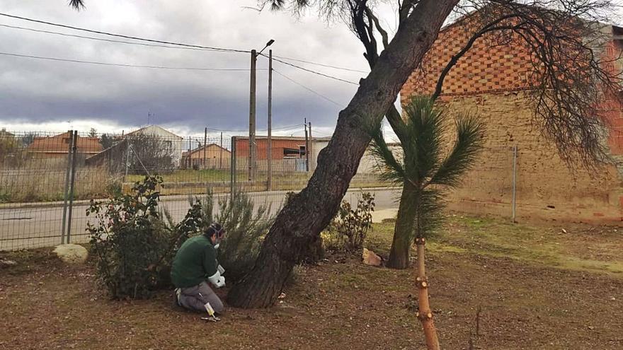 Villanueva de Azoague trata los pinos contra la procesionaria