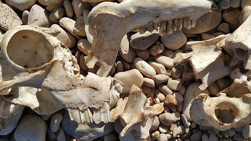 El temporal saca un cráneo de carnero en Xàbia