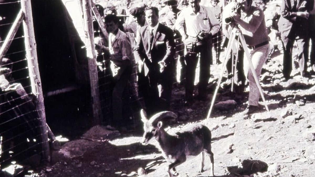 Primera suelta de muflones en el Teide en febrero de 1971.