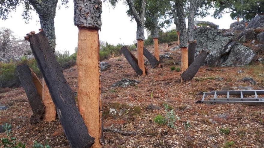 Una primavera seca marca la saca del corcho en la Serranía de Ronda