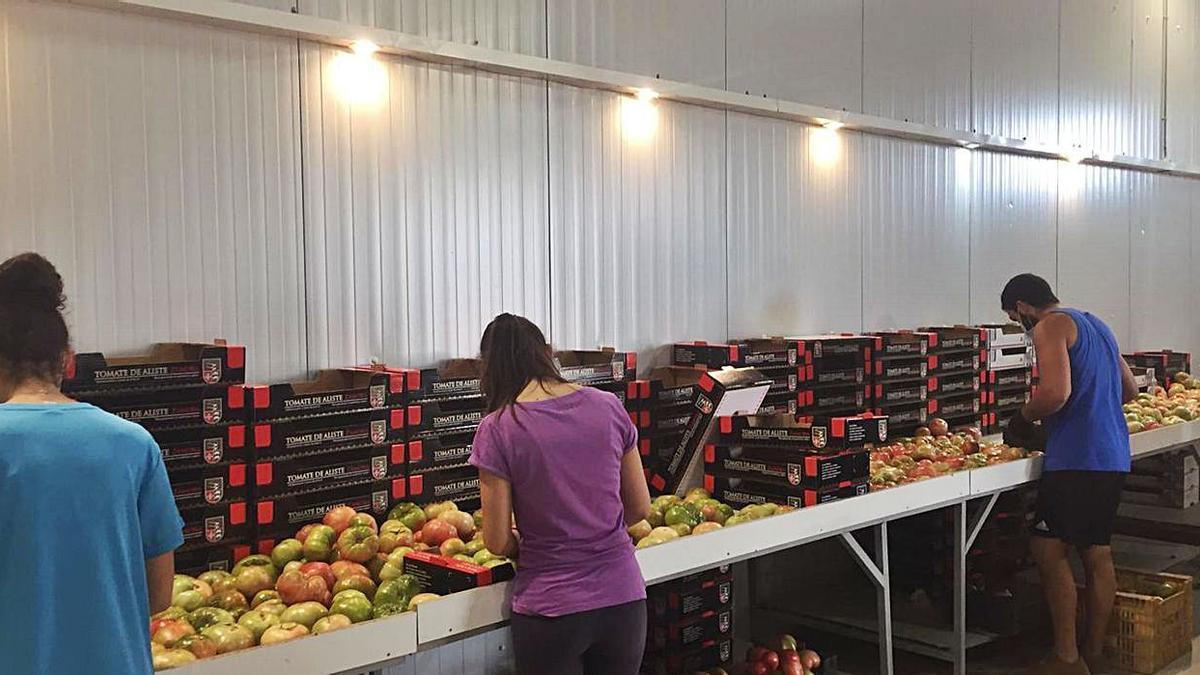 Los productores alistanos abastecen a las ciudades españolas de tomates de temporada