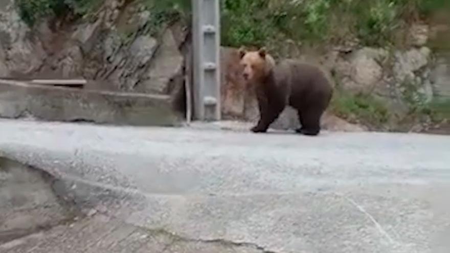 """""""Tuvimos que darle una voz"""": se encuentran con un gran oso frente a su casa en Cangas del Narcea y esto es lo que pasó"""