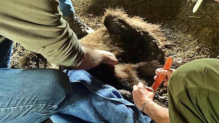 """Los ataques de osos al ganado son ya """"a diario"""", advierten en los pueblos de Cangas del Narcea"""