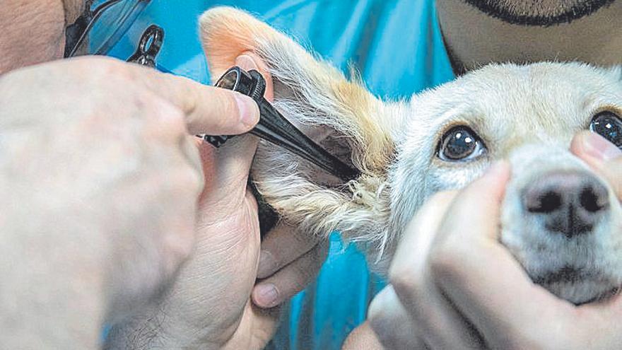 ¿Por qué le duelen a mi perro las orejas?